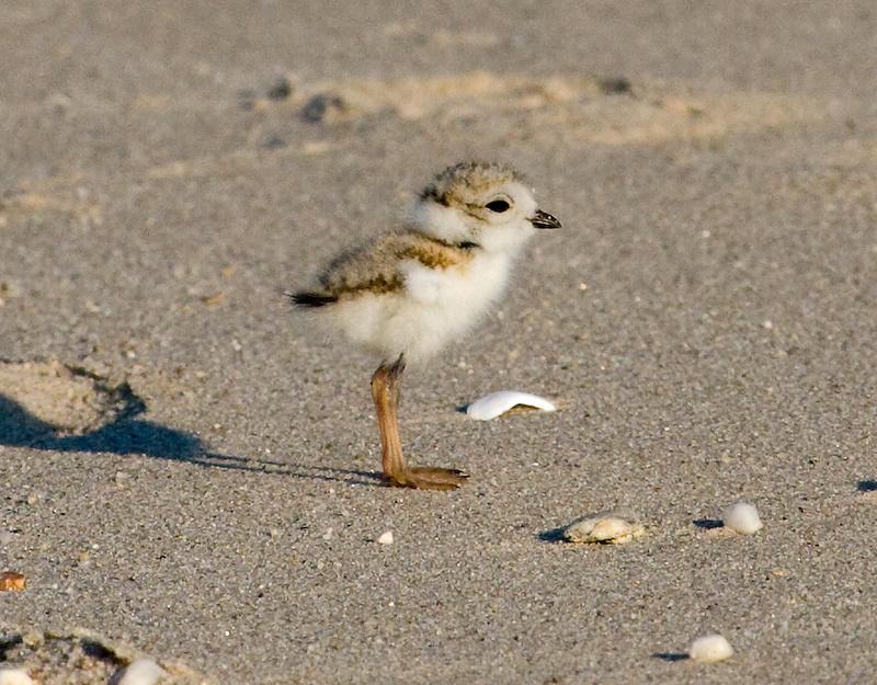 Baby piping plover - photo#10